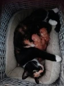 Klinkenberg kittens
